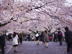 H&R Group – Top 5 Cherry Blossom Viewing Spots in Tokyo, Japan