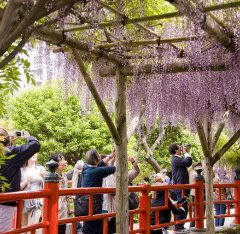 H&R Group Wisteria Festival