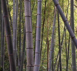 Shizuoka Bamboo Forest
